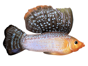 sailfin molly fish