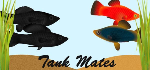 molly fish tank mates